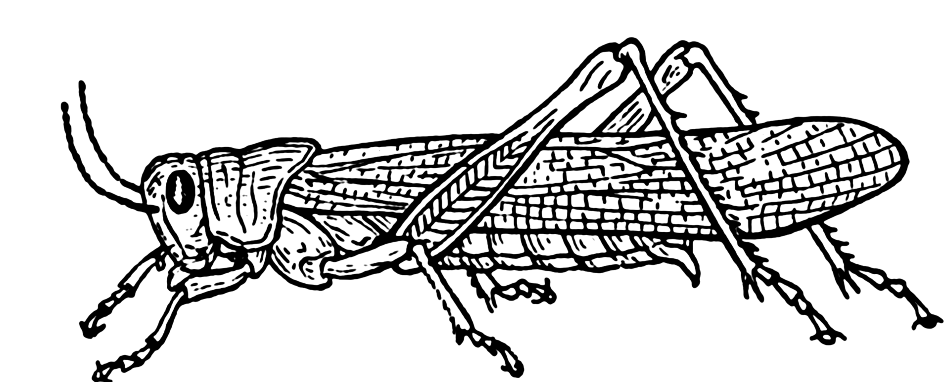 Line Drawing Insects : Insect science investigations for kids grasshoppers and
