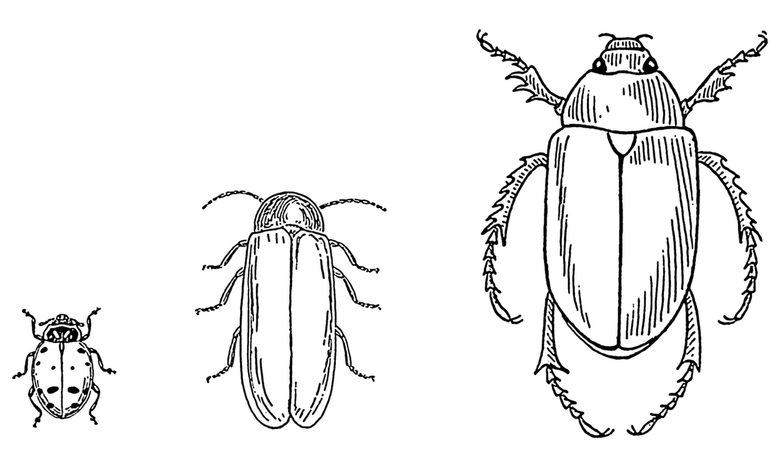 Life Cycle of a Mealworm coloring page | Free Printable Coloring Pages