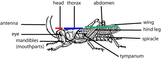 grasshopper-anatomy