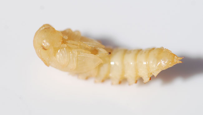 adult meal worms