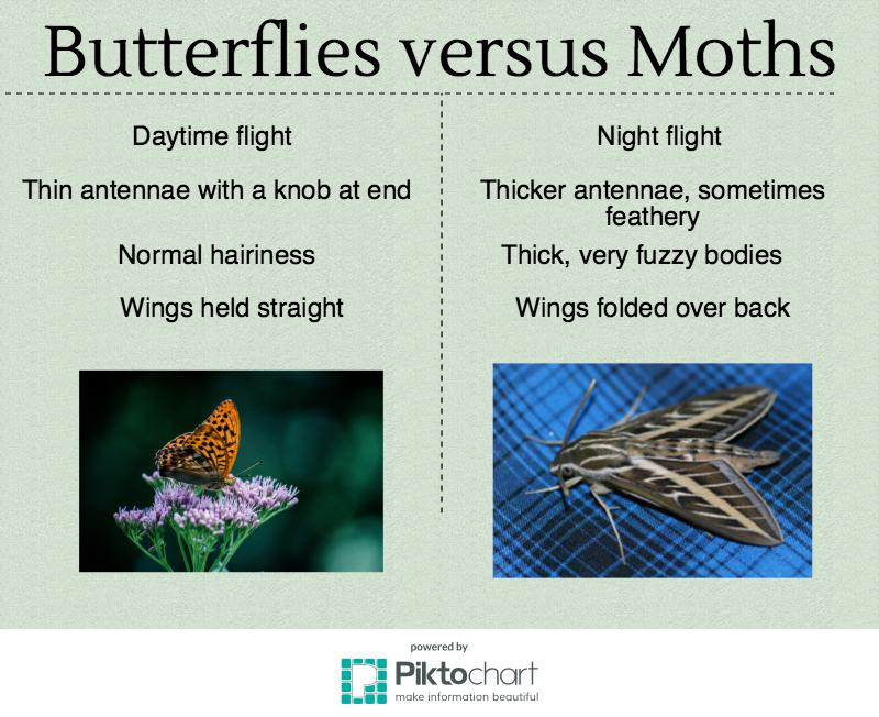 butterflies versus moths Moths have two set of wings moths tend to only fly at night moths begin life as a caterpillar moths have club-shaped antenna 3 what factor do moths and butterflies have in common both have feathered antennae both have bright, colorful wings both have the same schedule for flying and sleeping.