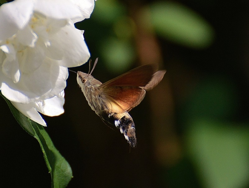 hummingbird-hawk-moth-flying