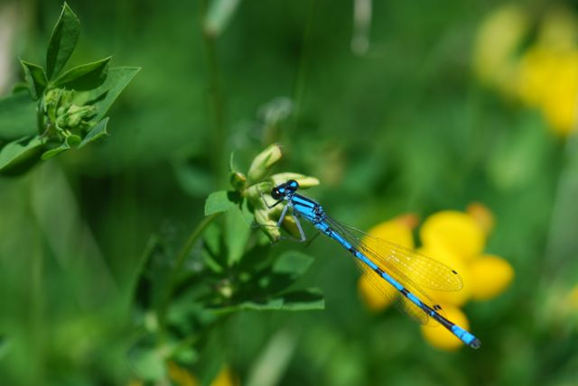 blue-damselfly-C_0674