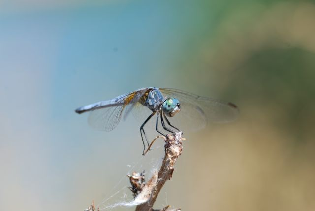 blue-dasher-dragonfly-0270