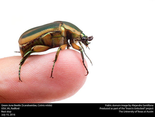 public-domain-green-june-beetle