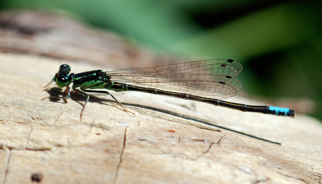 gorgeous-damselfly_0618