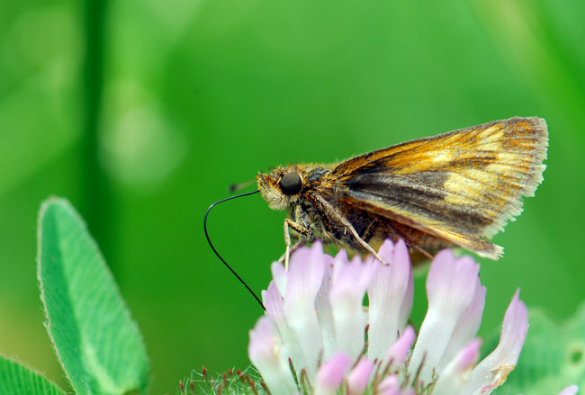 skipper-on-cloverc_0268