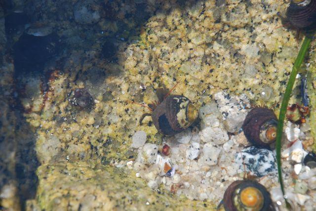 hermit-crabs8