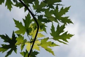 silver-maple