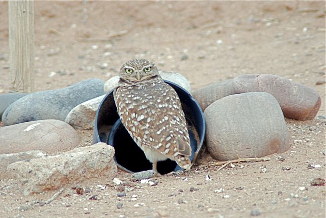burrowing-owl2_2
