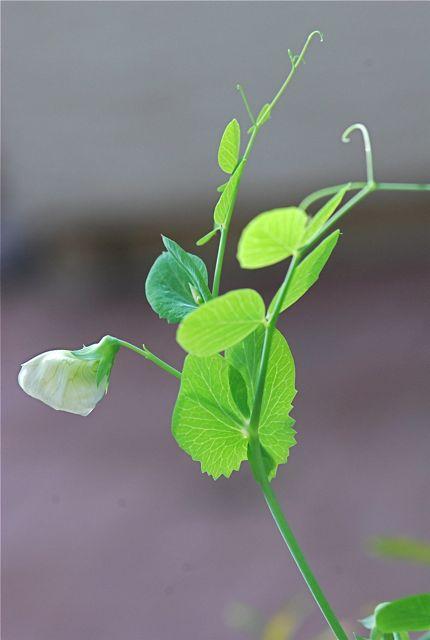 pea-plant