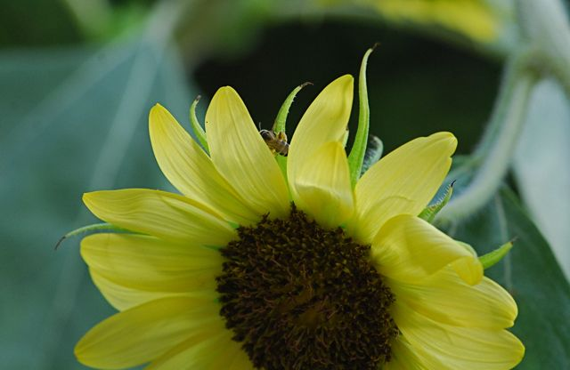 sunflower-bee1