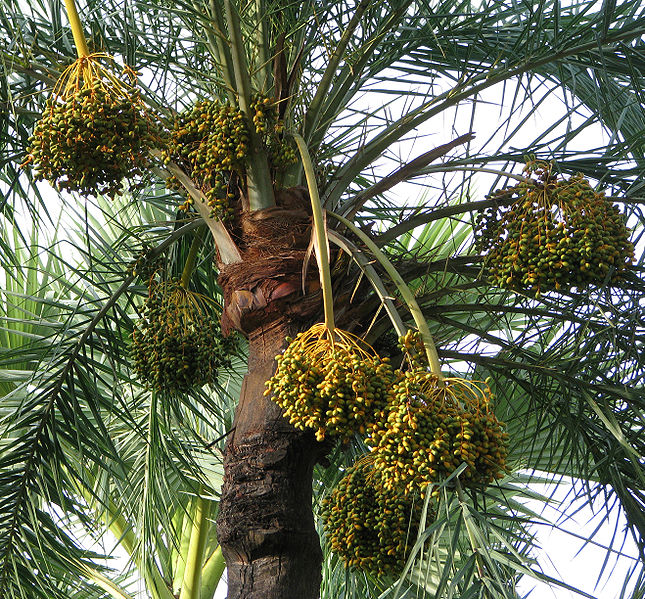 Fruit_of_the_date_palm_tree