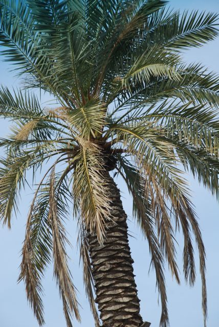 date-palm3