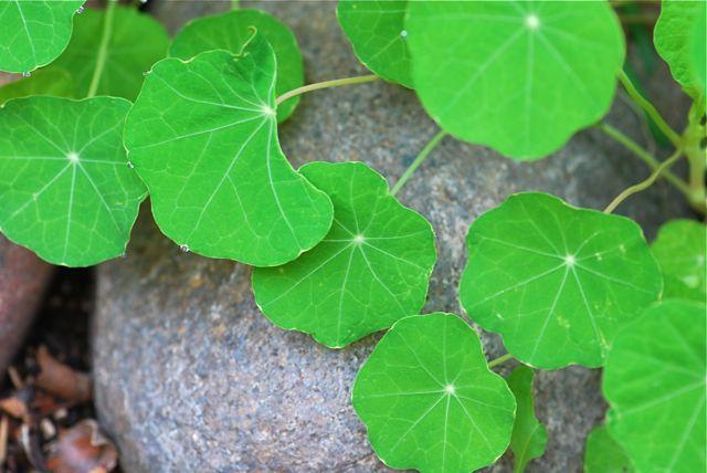 nasturium-leaves