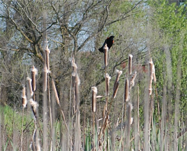 cattail-redwing