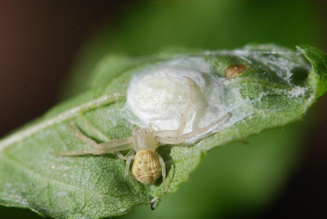 crab-spider-3