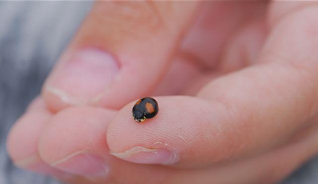 lady-beetle-1