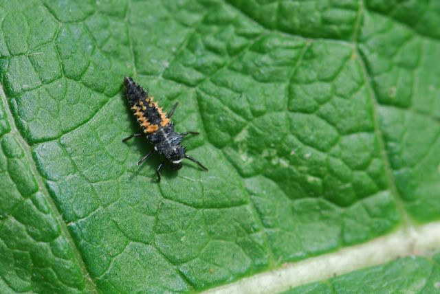 lady-beetle-larva1