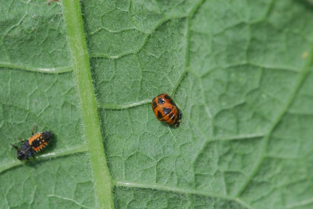 lady-beetle-pupa