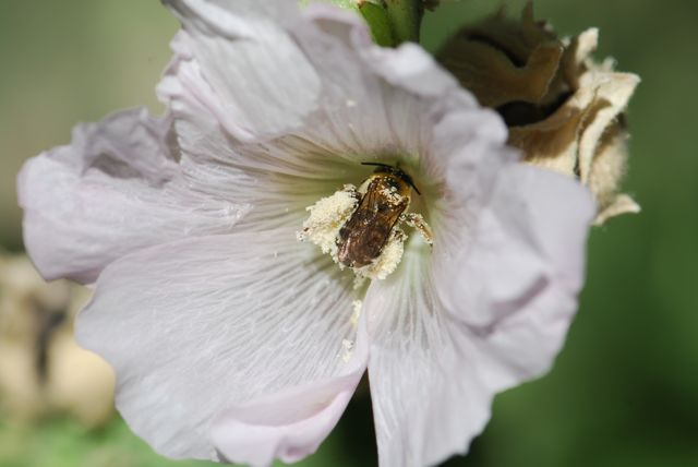 pollen-bee