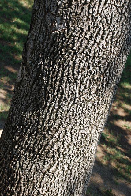 ash-bark