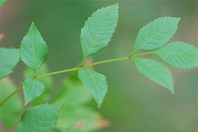 ash-tree-leaf-1