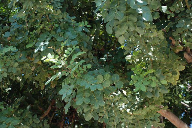 carob-more-leaves