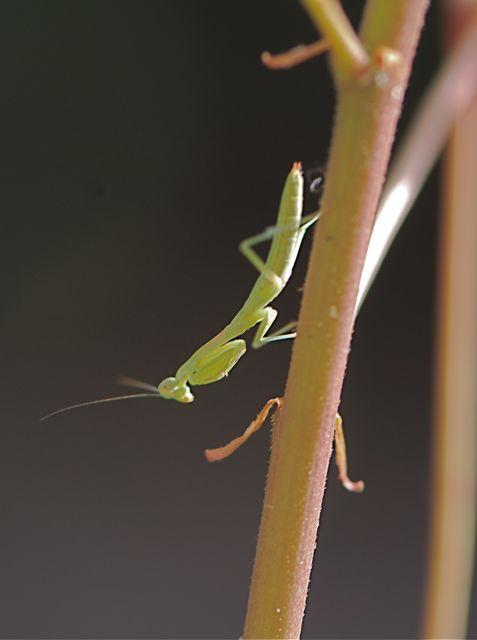 mantis-2