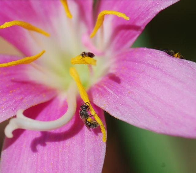rain-lily-bee2