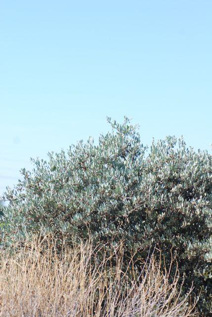jojoba-bush