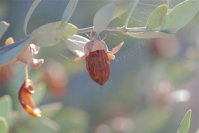 jojoba-fruit