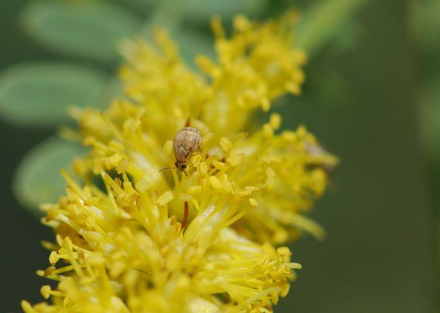 seed-beetle