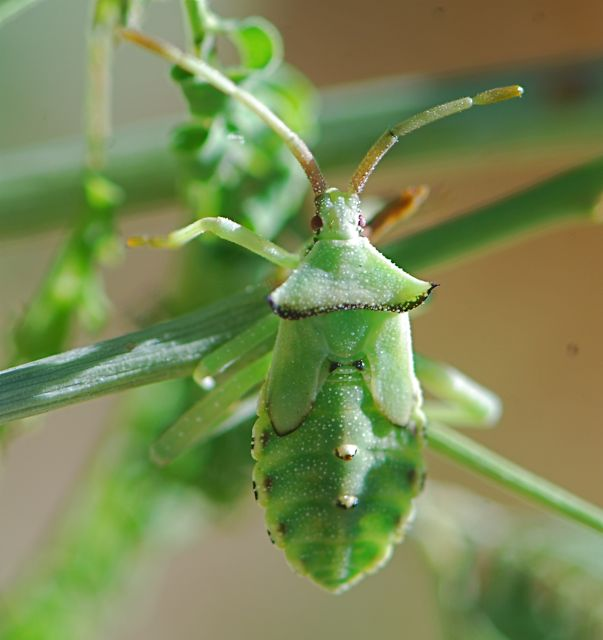 leaf-footed-bug-nymph-1