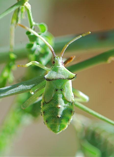 leaf-footed-bug-nymph-2
