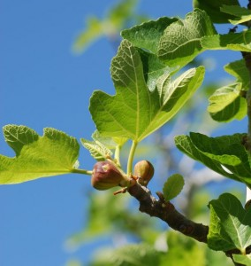 figs-on-tree-2