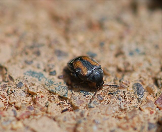 seed-beetle-close