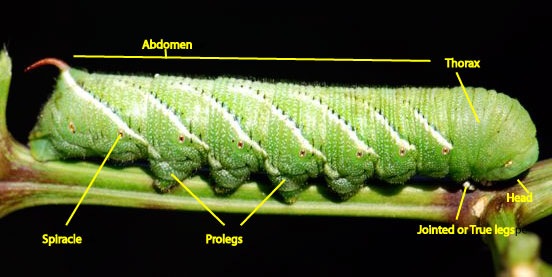 caterpillar-anatomy