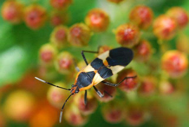 oncopeltus-milkweed-bug