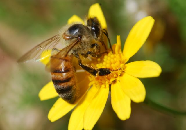 honey-bee-yellow-flower