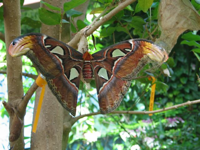 atlas-moth