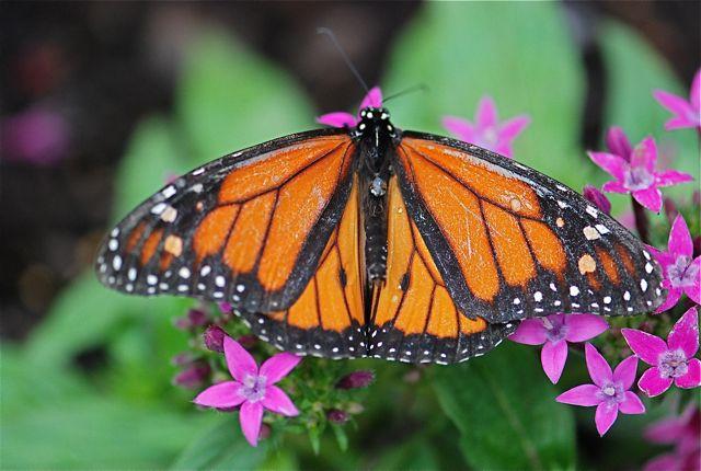 monarch-butterfly-hershey