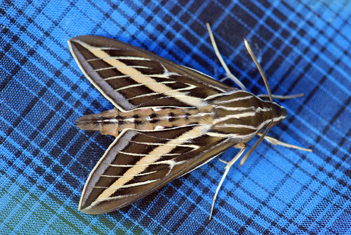 white-lined-sphinx-moth-best
