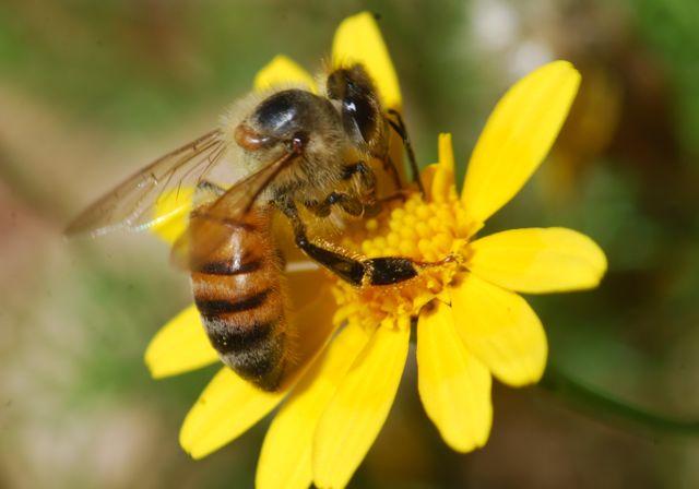 honey-bee-yellow-flower