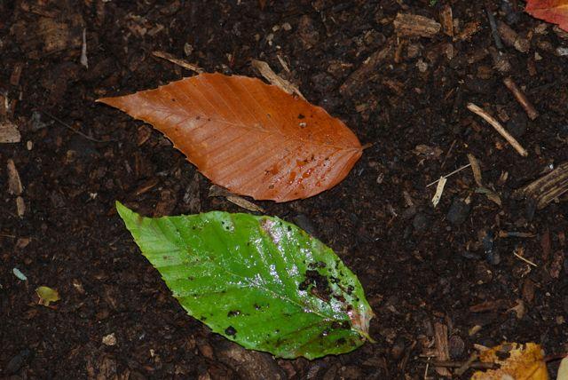 beech-tree-leaves