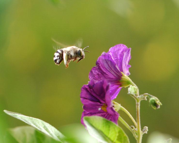 buzz-pollination-2-for-wild