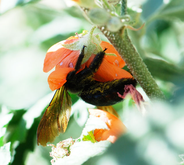 carpenter-bee-mallow-small
