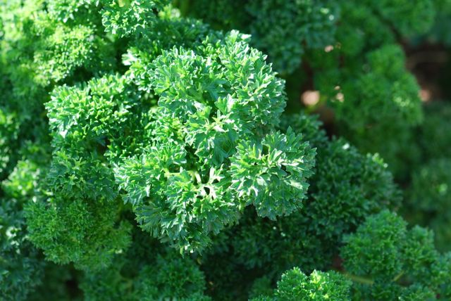 parsley-triple-curly-1000