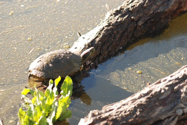 turtle-at-gilbert-riparian