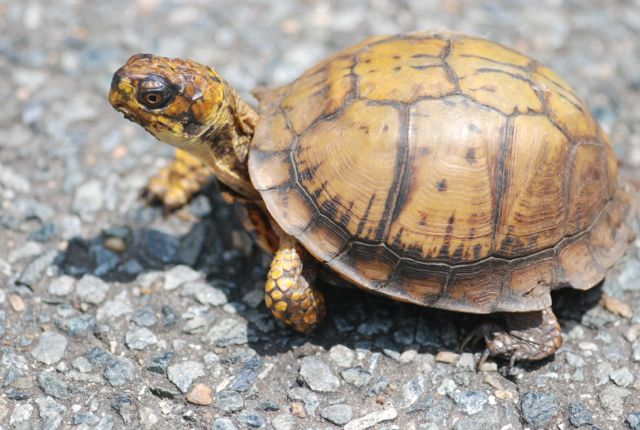 turtle-in-the-road-DC
